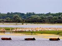 Kolonie van roze pelikanen in z'n setting.  © STARLING reizen