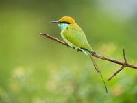 Little green bee-eater © Billy Herman