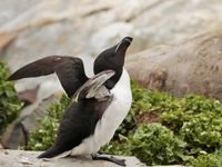 Etirements du pingouin torda