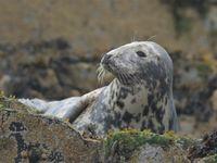 Le repos du phoque gris