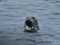 Ce phoque gris a eu l'air surpris de découvrir notre bateau en remontant de sa plongée