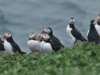 Sur l'île de Inner Farne, des centaines de macareux se reproduisent