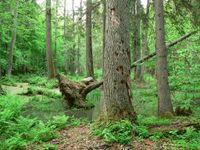Immersion dans la forêt de Bialowieza