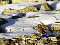 Grote roodmus in zijn favoriete biotoop, hooggebergte. © Johannes Jansen