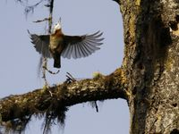 Turkse boomklever vliegt op. © Johannes Jansen