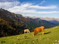 Milka koeien aan deZekari pas. © Johannes Jansen
