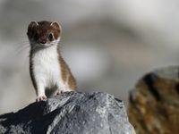 Nieuwsgierige hermelijn komt kijken. © Johannes Jansen