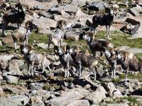 Altai argali op een bergflank. © STARLING reizen