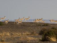 Goitered gazelles rennen door het landschap. © STARLING reizen