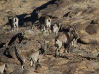 Een groep Siberian ibexes. © STARLING reizen