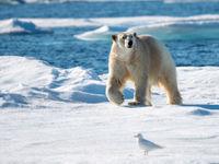 Ivoormeeuw en ijsbeer. © Frederik Willemyns