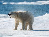 Een ijsbeer schudt het koude water van zich af. © Frederik Willemyns