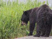 Zwarte beren eten zowat alles wat ze kunnen vinden, zelfs gras. © Joachim Bertrands