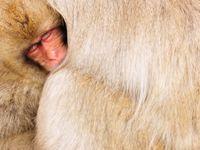 Een jonge makaak zoekt naar warmte bij de moeder. © Yves Adams