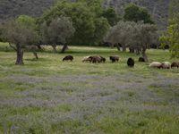 Op Lesbos tref je een set van diverse biotopen aan, waaronder deze open olijfboomgaarden met nabijgelegen bosranden. © Patrick Keirsebilck
