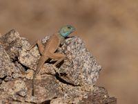 Cet agame du Sinaï est incroyablement agile dans les pentes escarpées des montagnes entourant Eilat © Noé Terorde