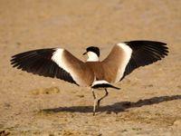 Lorsqu'il ouvre ses ailes, il est possible d'observer les fameux éperons du vanneau éperonné ! © Noé Terorde