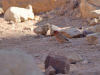 Le roselin du Sinaï apprécie particulièrement les vallées montagneuses encaissées © Noé Terorde