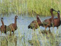 Een groepje foeragerende zwarte ibissen. © Patrick Keirsebilck
