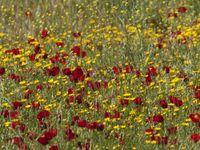 Dankzij de verzengende zomerhitte hebben planten zich aangepast om eerder in het voorjaar plots massaal te bloeien, om zo optimaal te profiteren van de schaarse regenval. © Patrick Keirsebilck