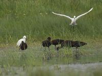 Een gemengd groepje zwarte ibissen en kleine zilverreigers foerageert rustig in het water. © Patrick Keirsebilck