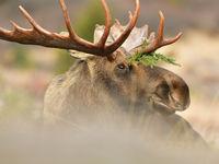 Een mannetje eland. © Yves Adams