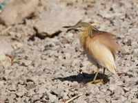 Crabier chevelu à l'affût © Noé Terorde