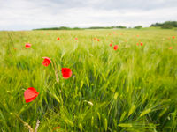 Klaprozen in een veld vol rogge. © Billy Herman