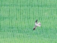 De grauwe kiekendief is hier nog gewoon een broedvogel, maar gaat helaas overal achteruit. © Billy Herman