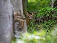 Een ree begluurt ons vanuit het bos. © Billy Herman