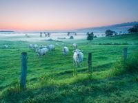 Runderen in het landschap op een mistige ochtend. © Billy Herman