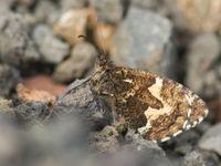 Heivlinders kennen nagenoeg op elk eiland wel een endemische (onder-)soort. © Billy Herman