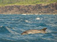 Tuimelaars zijn vrij algemene dolfijnen hier, en steeds graag gezien. © Billy Herman