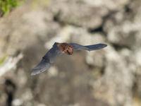 De Azoren rosse vleermuis is een soort die overdag leerde vliegen, bij gebrek aan dagactieve predatoren. © Billy Herman