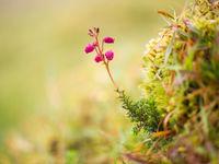 Tal van heidesoorten waaronder dit dopheiplantje floreren welig in het zachte klimaat. © Billy Herman