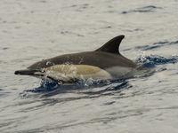 Een gewone dolfijn toont z'n kenmerkend zandloperpatroon. © Billy Herman