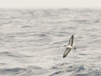 Een kleine pijlstormvogel, een soort die recent enorm achteruit gaat en een specialiteit van de Azoren. © Billy Herman