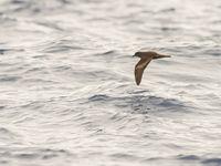 Een bulwers stormvogel scheert langs, als een echte vleermuis. © Billy Herman
