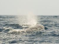 Aan de vorm van de spuitwolk kan je zien om welke soort walvis het gaat. © Billy Herman