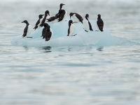Kortbekzeekoeten, de ultieme pinguïns van het noorden! © David 'Billy' Herman