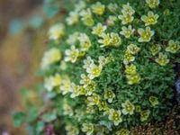 Saxifraga soorten zijn het meest typisch voor de omgeving. © David 'Billy' Herman