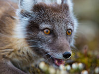 Poolvosjes hebben de mooiste ogen! © David 'Billy' Herman