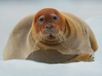 Deze baardrob rust even uit op het ijs, wat een kolos. © David 'Billy' Herman