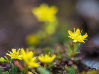 Sedumsoorten zijn erg algemeen, en herinneren vaak aan lokale soorten van bij ons. © David 'Billy' Herman