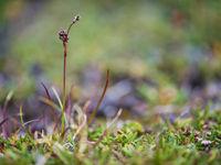 Een kleine zegge komt piepen. © David 'Billy' Herman