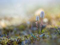 Deze lavendelhei is een van de typische poolsoorten. © David 'Billy' Herman