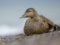 Een vrouwtje eider, een soort die het ook de laatste jaren niet gemakkelijk heeft. © David 'Billy' Herman