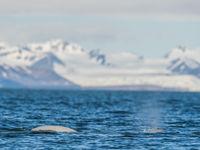 Beluga's zijn de witte dolfijnen van de poolstreken. © David 'Billy' Herman