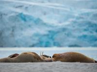 Walrussen eten enkel schaaldieren en hebben best wat tijd nodig om deze te verteren. © David 'Billy' Herman