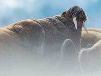 Een oude stier kijkt uit over de kolonie. © David 'Billy' Herman